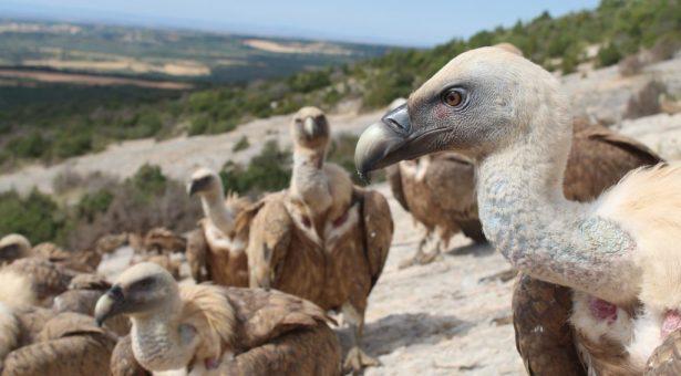 Las rapaces capturan  el turismo ornitológico